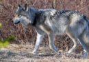 Le loup et l'Infant | Davantage de loups vont pouvoir être abattus